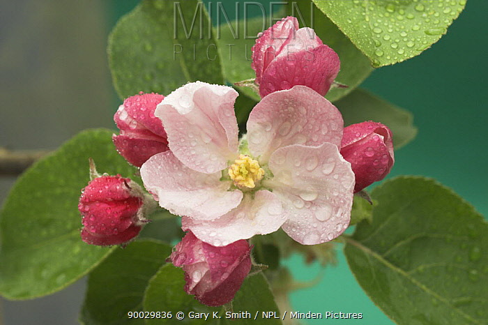 Bramley Apple tree blossom (Malus domesticus) with dew on leaves, Norfolk, UK, April  -  Gary K. Smith/ npl