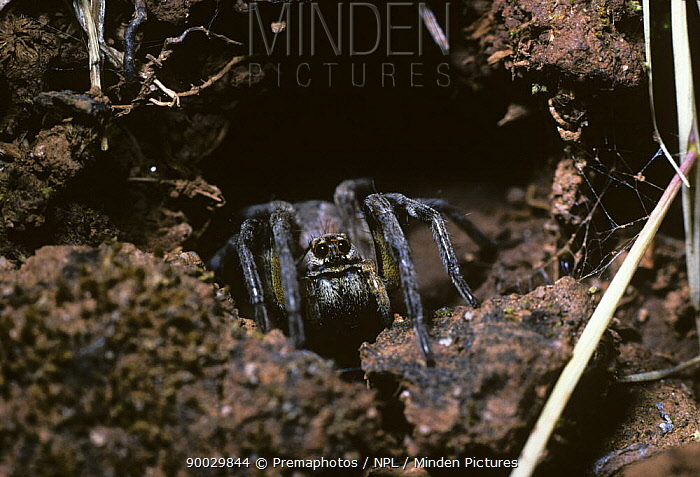 Wolf spider (Lycosa narbonensis) female at her burrow entrance, Spain  -  Premaphotos/ npl