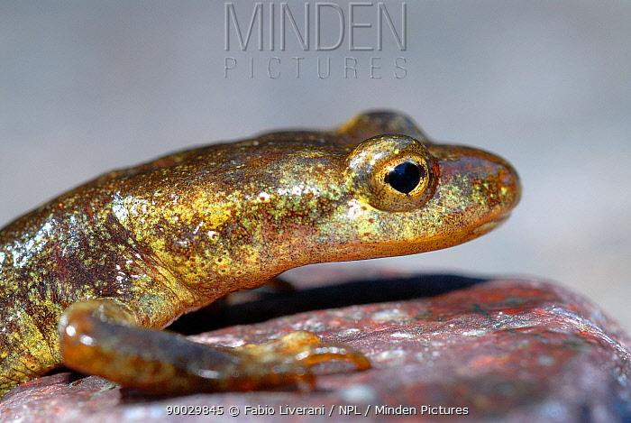 Corsican Mountain Salamander (Euproctus montanus), Corsica Island, France  -  Fabio Liverani/ npl