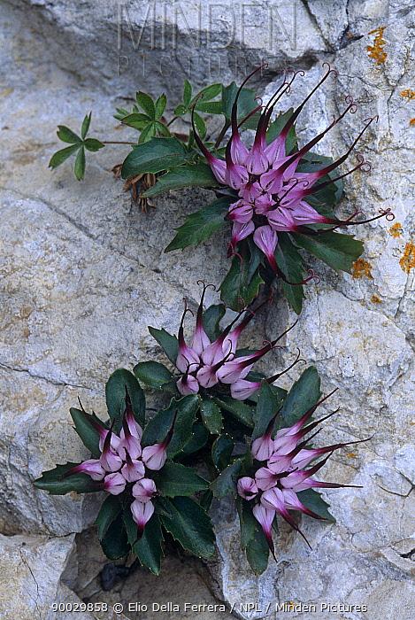 (Physoplexis comosa) flowering on rock, Grigne mountains, Alps, Italy  -  Elio Della Ferrera/ npl