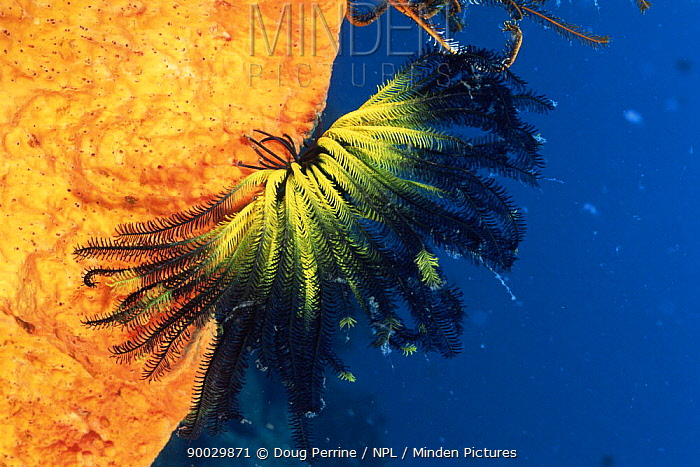 Feather star (Oxycomanthus bennetti) on sponge, Kimbe Bay, Papua New Guinea  -  Doug Perrine/ npl