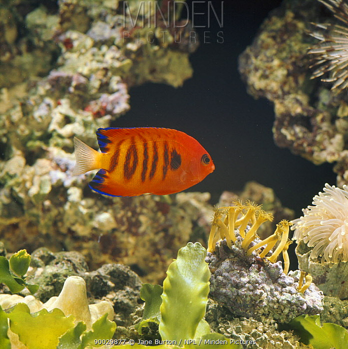 Flame Angelfish (Centropyge loriculus) captive, from Hawaii  -  Jane Burton/ npl