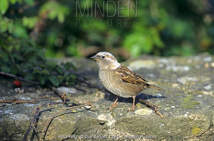 House Sparrow (Passer domesticus) Glos, United Kingdom  -  David Kjaer/ npl