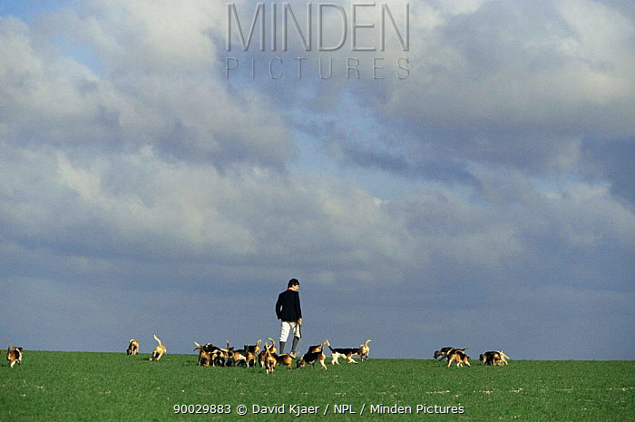 Beagling, hunting hares on the Wiltshire Downs with beagles, UK, 1998  -  David Kjaer/ npl