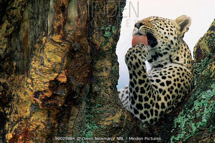 Leopard (Panthera pardus) female licking paw in tree, Ngorongoro Crater, Tanzania  -  Owen Newman/ npl