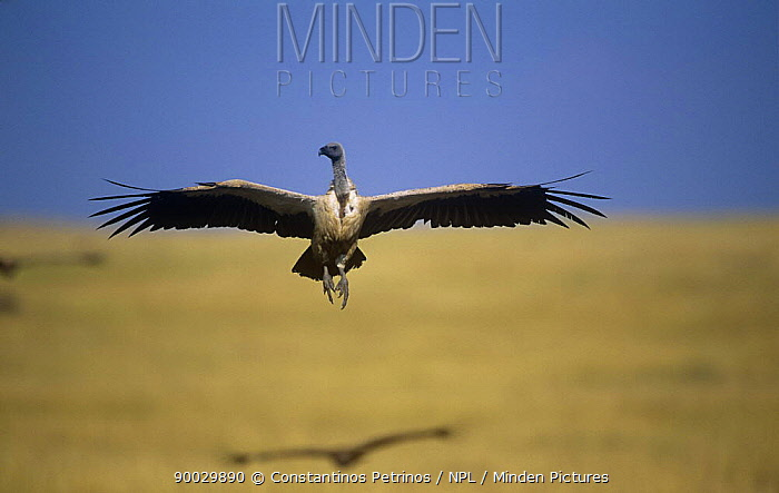 White-backed Vulture (Gyps africanus) in flight Masai Mara National Park, Kenya  -  Constantinos Petrinos/ npl