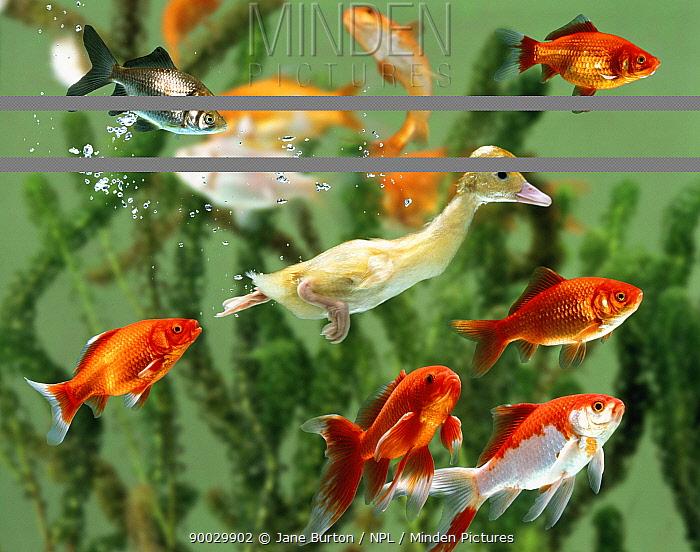 Duckling swims underwater among goldfish (digitally enhanced)  -  Jane Burton/ npl