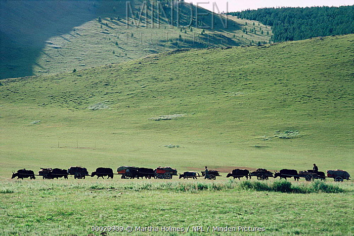 Yak train pulling laden cart, moving camp Hangay mountains, Mongolia  -  Martha Holmes/ npl