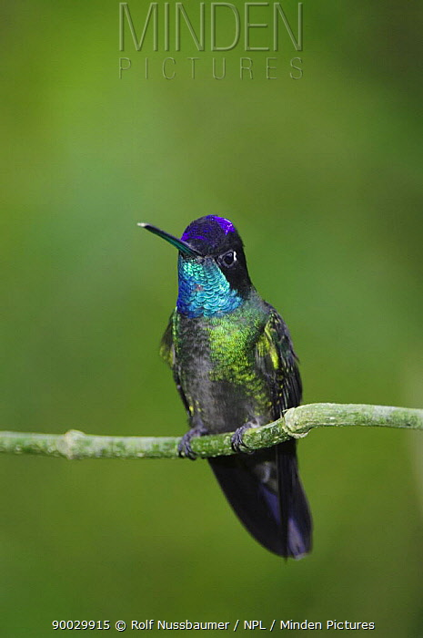 Magnificent Hummingbird (Eugenes fulgens) male perched, Central Valley, Costa Rica  -  Rolf Nussbaumer/ npl