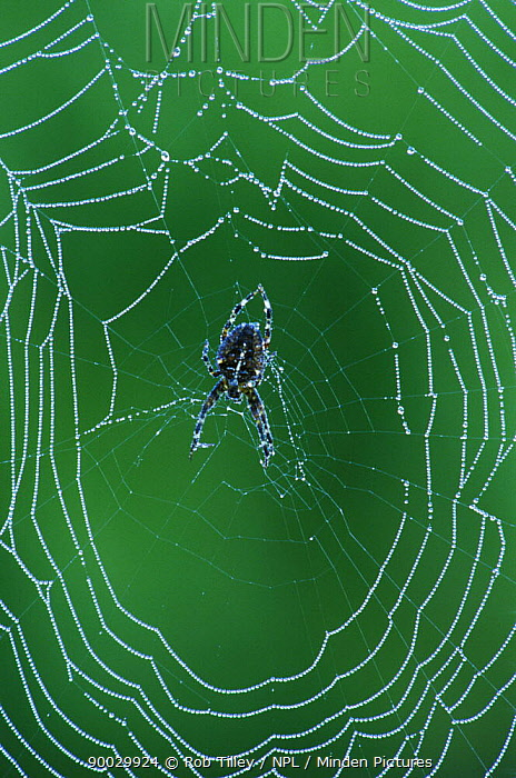 Spiderweb with Dewdrops, San Juan Island, Washington, USA  -  Rob Tilley/ npl