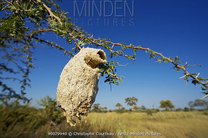 Nest of Greater Honeyguide bird (Indicator indicator) hanging in tree, Okvango, Botswana  -  Christophe Courteau/ npl