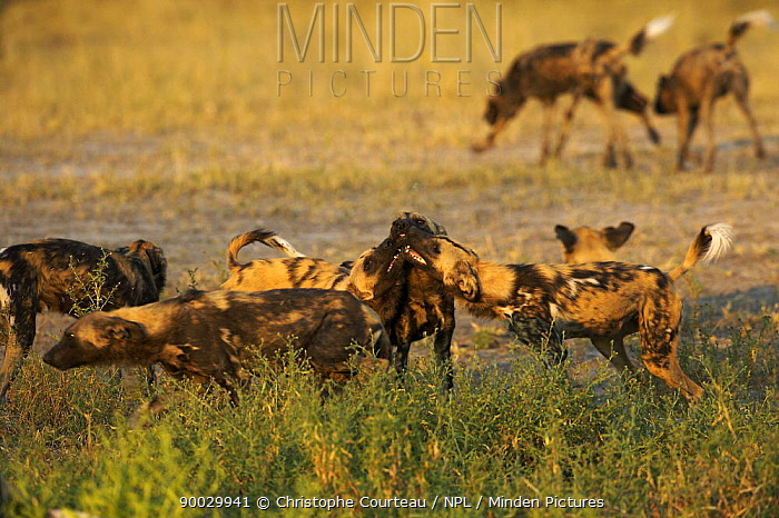 African Wild Dog (Lycaon pictus) pack interacting on the Okavango Delta during the dry season, Botswana  -  Christophe Courteau/ npl