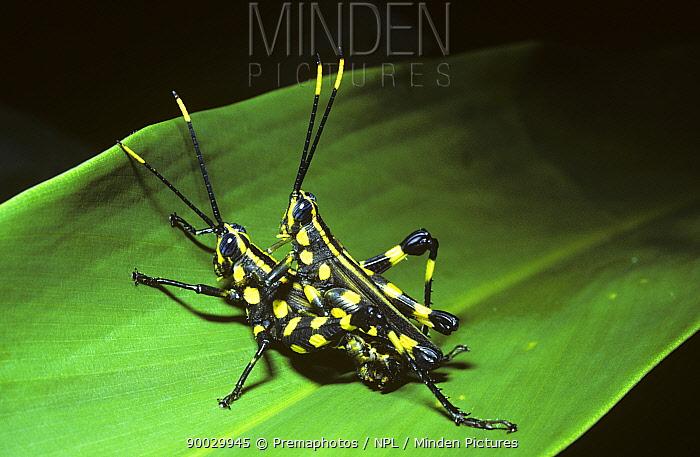 Grasshopper (Rhopsotettix consummatus), warningly coloured pair mating in rainforest, Peru  -  Premaphotos/ npl