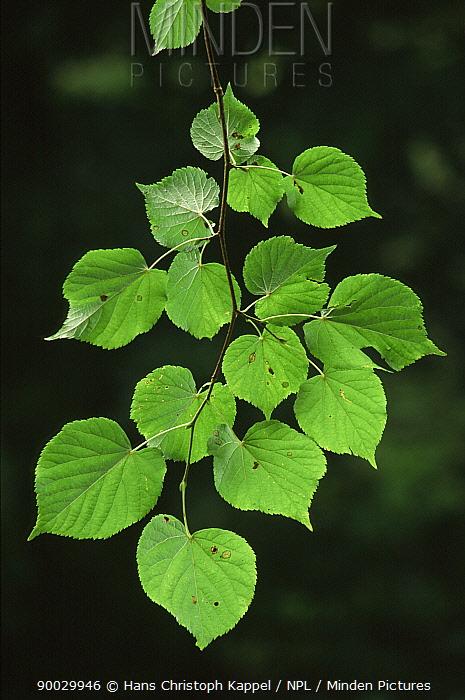 Lime Tree (Tilia sp) leaves, Germany  -  Hans Christoph Kappel/ npl