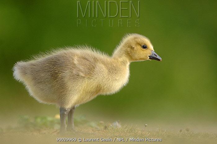 Canada Goose (Branta canadensis) chick, Walthamstow reservoir, London, United Kingdom  -  Laurent Geslin/ npl