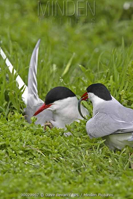 Arctic Tern (Sterna paradisaea) male offering Sandeel to female on nest, Farne Is, United Kingdom  -  Dave Bevan/ npl