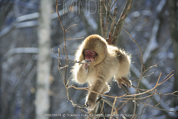 Japanese Macaque (Macaca fuscata) young monkey feeding on tree bud, Jigokudani, Nagano, Japan  -  Yukihiro Fukuda/ npl