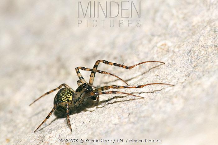 Cave Spider (Meta merianae) in the cave Rocca Ulari, Borutta, Sardinia, Italy  -  Kerstin Hinze/ npl