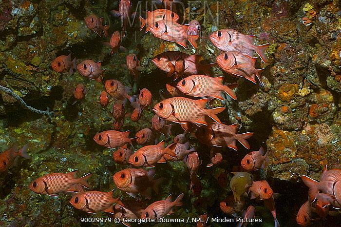 Red soldierfish (Myripristis murdjan) shoal, Andaman Sea, Thailand  -  Georgette Douwma/ npl
