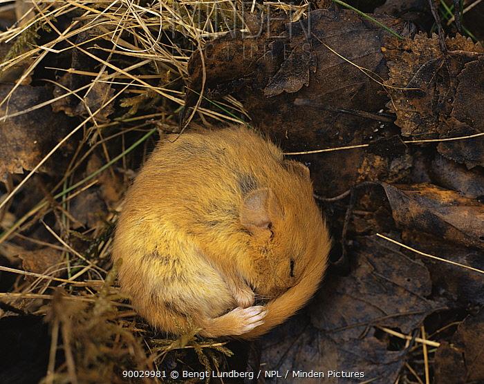 Common Dormouse (Muscardinus avellanarius) hibernating in leaf litter in, Sweden  -  Bengt Lundberg/ npl
