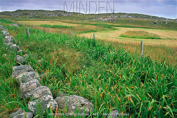 Agriculture on Coll, Scotland, UK Hay field with iris cover for Corncrakes  -  Niall Benvie/ npl