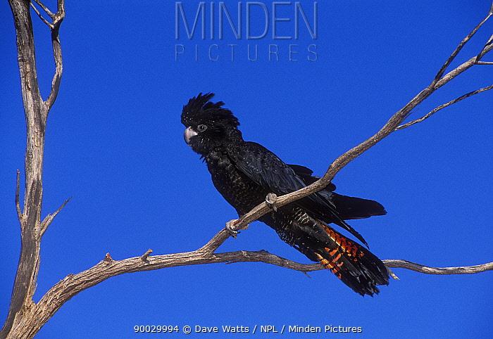 Red-tailed Black-Cockatoo (Calyptorhynchus banksii) South Australia  -  Dave Watts/ npl