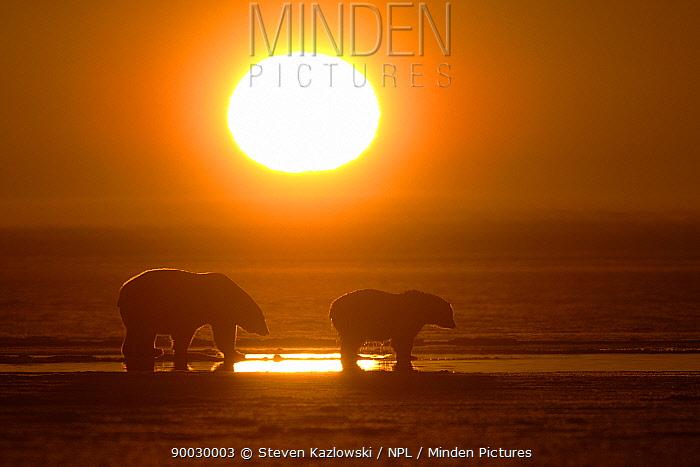 Polar Bear (Ursus maritimus) mother and cub silhouetted at sunset, Coastal plain of the Arctic National Wildlife Refuge, Alaska  -  Steven Kazlowski/ npl