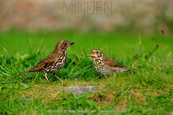Song Thrush (Turdus philomelos) parent bird feeding chick on ground, St Marys, Isles of Scilly, United Kingdom  -  Mike Wilkes/ npl