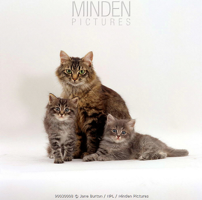 Domestic Cat (Felis catus) fluffy tabby with her two kittens  -  Jane Burton/ npl