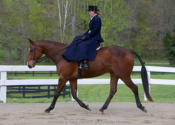 Woman riding Thoroughbred gelding (Equus caballus) sidesaddle, Virginia  -  Carol Walker/ npl