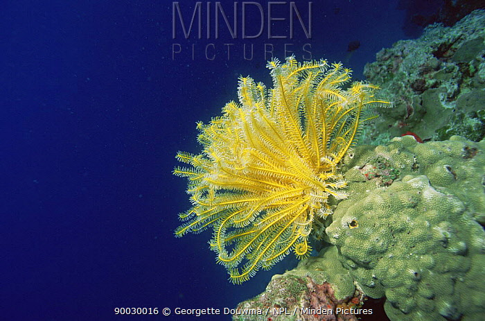 Feather Star (Crinoidea)on coral, Sulawesi, Indonesia, Indo pacific  -  Georgette Douwma/ npl