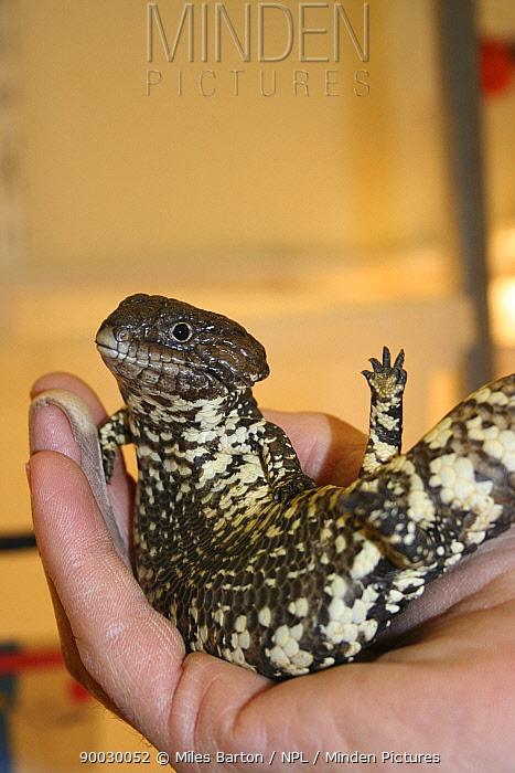 Shingleback Lizard (Trachydosaurus rugosus) baby on hand Captive, South Australia  -  Miles Barton/ npl