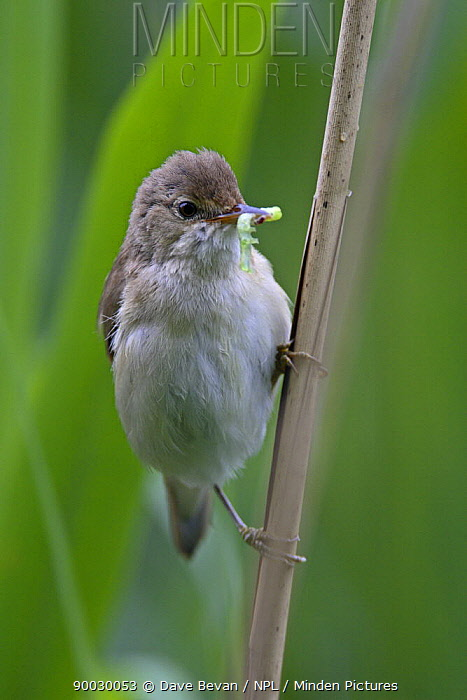 Eurasian Reed-Warbler (Acrocephalus scirpaceus) perched on reed with caterpillar prey, United Kingdom  -  Dave Bevan/ npl
