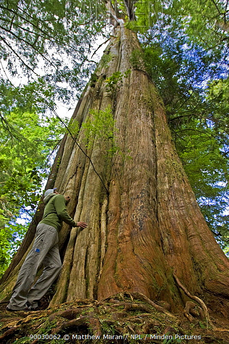 Person standing beside the trunk of a Western Red Cedar (Thuja plicata) The Big Tree Trail, Meares Island, Clayoquot Sound, Vancouver Island, BC, Canada  -  Matthew Maran/ npl