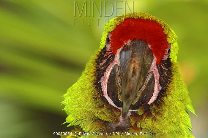 Military Macaw (Ara militaris), Costa Rica,  -  Edwin Giesbers/ npl