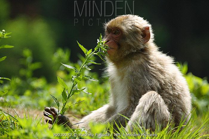 Japanese Macaque (Macaca fuscata) feeding on wild flower in spring, Jigokudani, Nagano, Japan  -  Yukihiro Fukuda/ npl