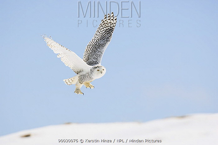 Snowy Owl (Nyctea scandiaca) adult female flying over snow, winter, Europe Captive, Falconer's bird, Austria  -  Kerstin Hinze/ npl