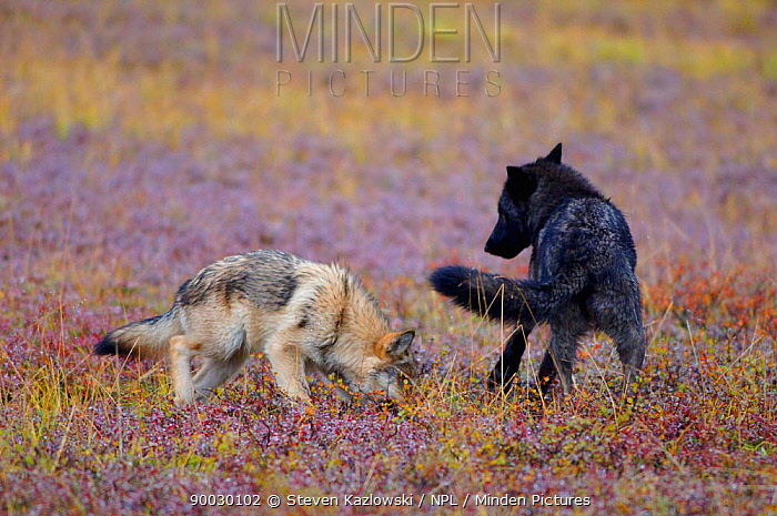 Wild Grey Wolves (Canis lupus) playing, Denali National Park, Alaska, USA Sequence 2, 4  -  Steven Kazlowski/ npl