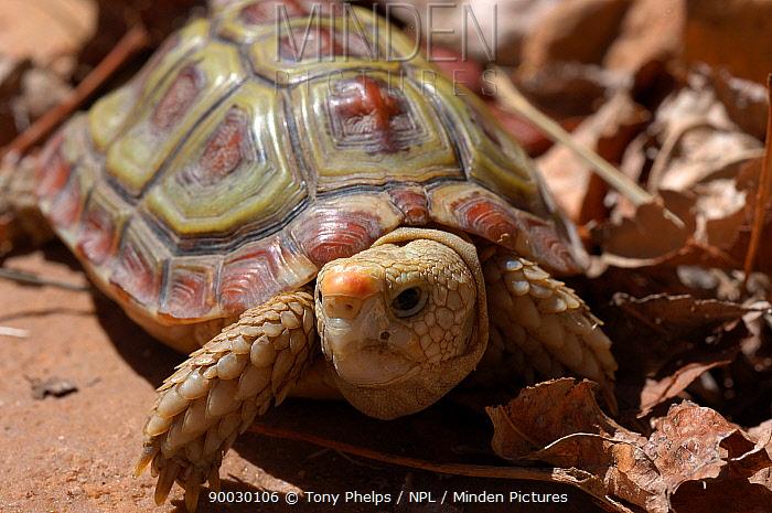 Parrot beaked tortoise (Homopus areolatus) South Africa  -  Tony Phelps/ npl