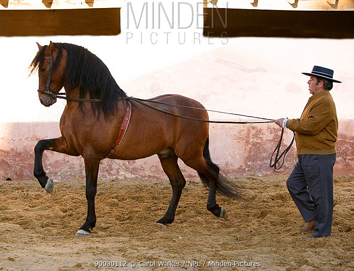 Bay Andalusian Stallion (Equus caballus) being ground driven by trainer, Osuna, Spain Model released  -  Carol Walker/ npl