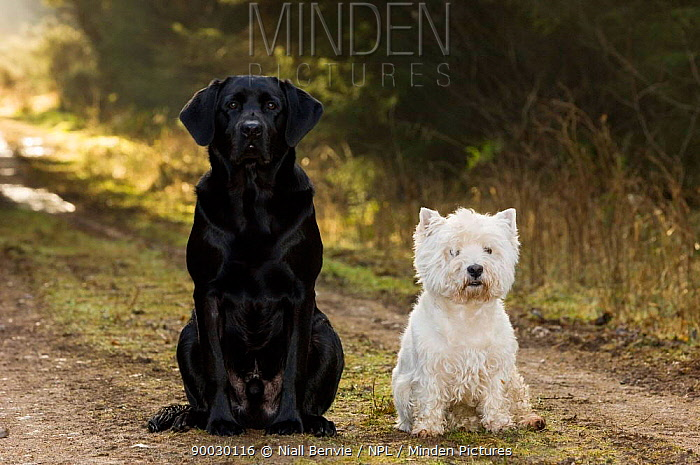 Black labrador sitting with a white West Highland terrier (Canis familiaris) Scotland, UK  -  Niall Benvie/ npl