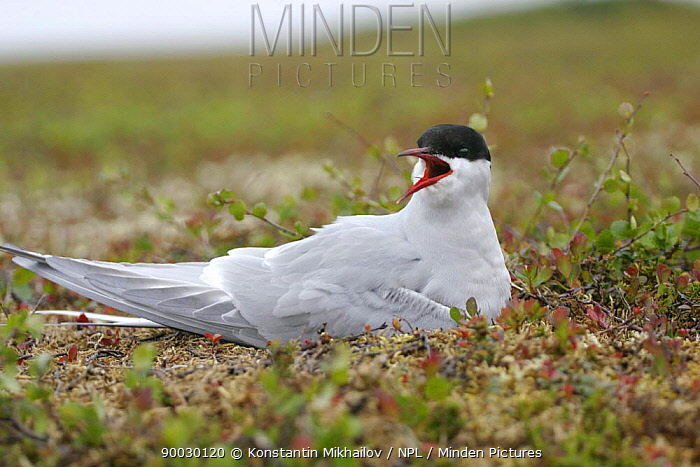 Common Tern (Sterna hirundo) calling, on tundra, Nenetskiy Zapovednik, Reserve North Russia  -  Konstantin Mikhailov/ npl