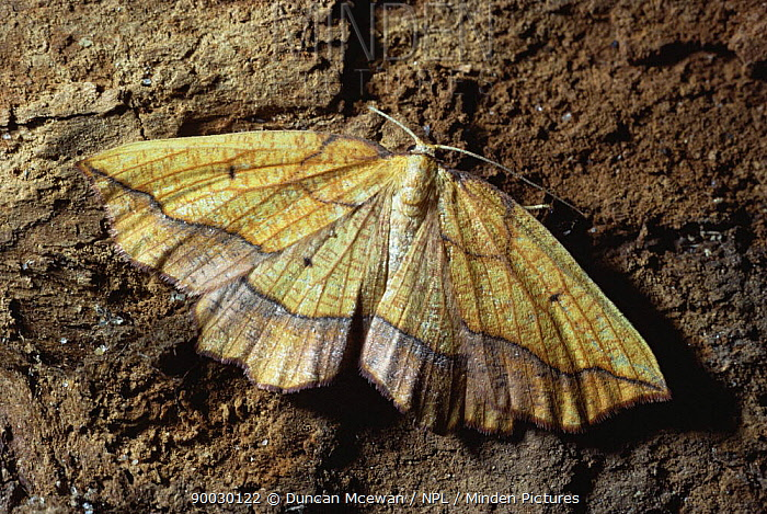 Bordered Beauty (Epione repandaria) Scotland United Kingdom  -  Duncan McEwan/ npl