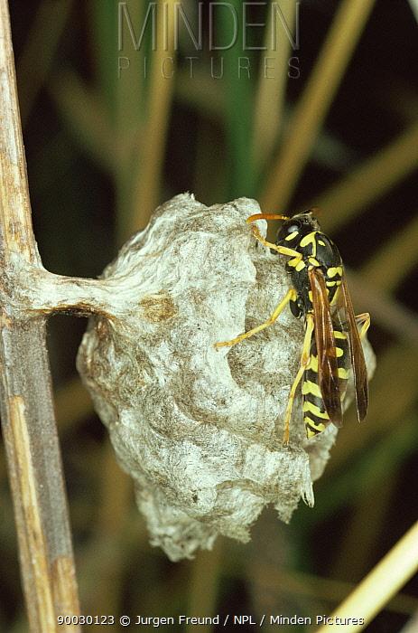 Wasp (Vespidae)on nest, Germany  -  Jurgen Freund/ npl
