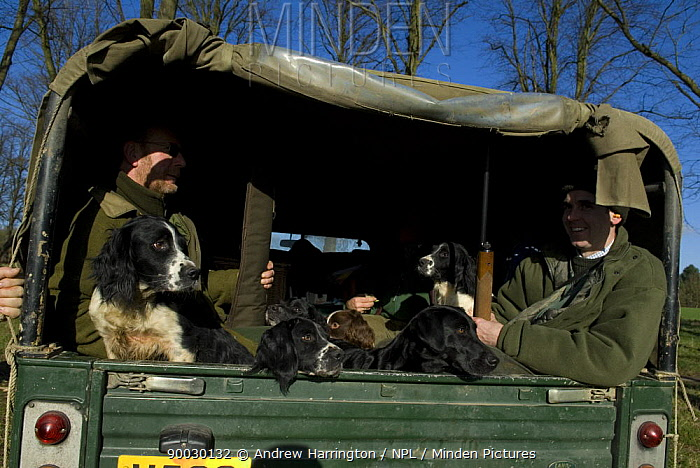 Spaniels and Labrador in back of vehicle with owners before Pheasant shoot, UK  -  Andrew Harrington/ npl