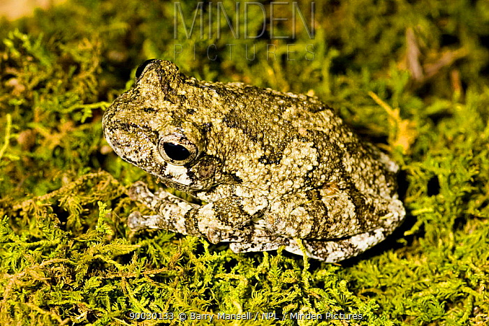 Cope's Grey Tree Frog (Hyla chrysoscelis), camouflaged against moss West Florida, USA  -  Barry Mansell/ npl