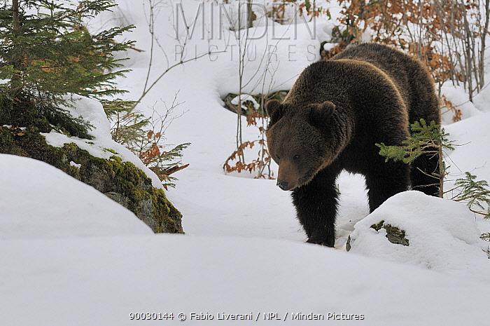 Brown Bear (Ursus arctos) in snow, captive, Bayerischer Wald National Park, Germany  -  Fabio Liverani/ npl