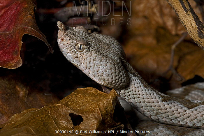 Sand, Long-nosed Viper (Vipera ammodytes) captive, from South East Europe and Turkey  -  Rod Williams/ npl