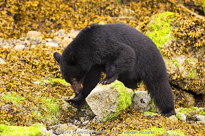 Black Bear (Ursus americanus) turning over boulders, looking for food at low tide Clayoquot Sound, Vancouver Island  -  Matthew Maran/ npl