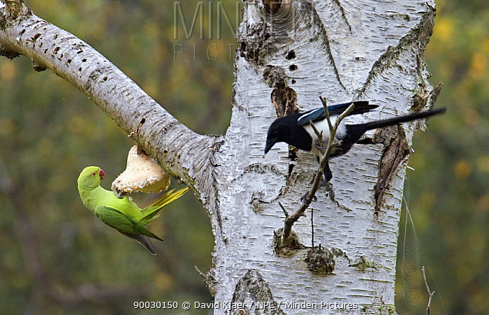 Rose-ringed Parakeet (Psittacula krameri) feeding on Tinder fungus (probably taking a mineral supplement), Richmond Park, London, United Kingdom naturalised british population from cage birds that escaped into the wild Magpie (Pica pica) in foreground  -  David Kjaer/ npl